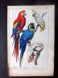 Adam White C1860 Hand Col Bird Print. Red & Blue Macaw, Cockatoo. Parrots
